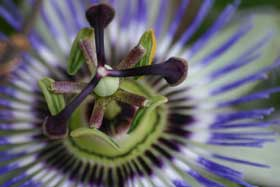 Close-up of a passion flower