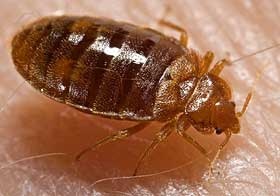 Close-up of bed bug.